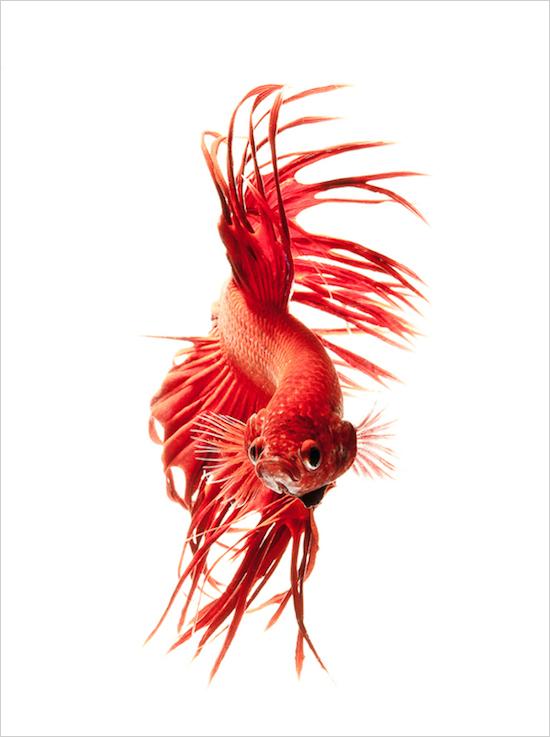 Siamese-Fish-betta-baligi-rengarenk-baliklar